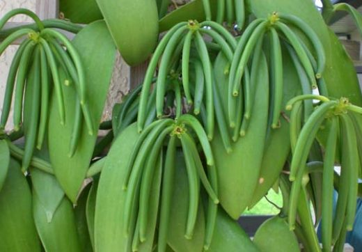 Green pods on a vanilla plant