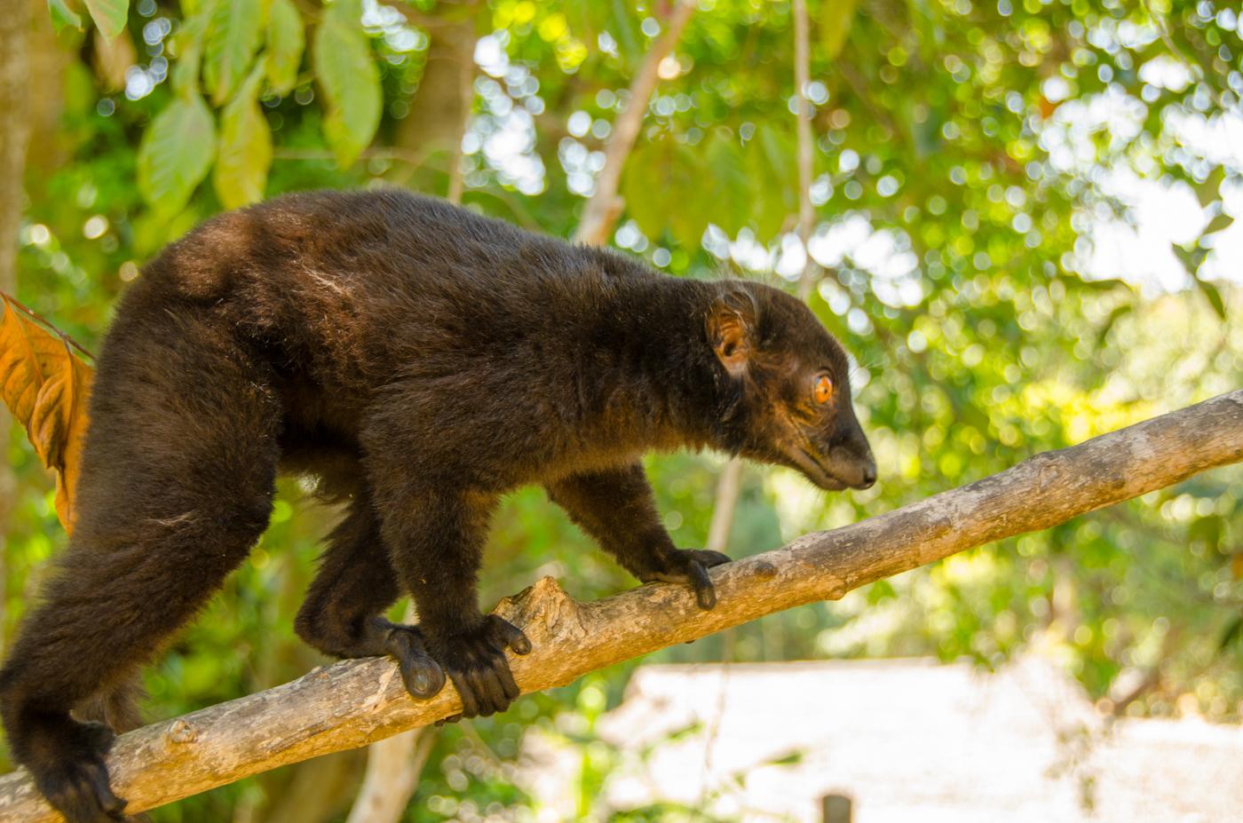 Where do lemurs live? 58